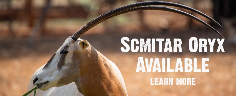 Scimitar Oryx Timberlake Ranch Texas